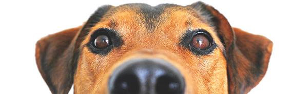 imagem de cão a espreitar